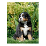 Bernese puppy post cards