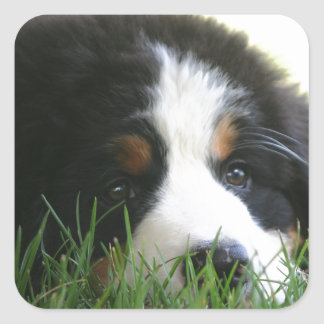 Bernese Puppy Square Sticker