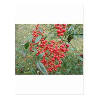 Berries on Nandina Postcards