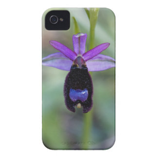 Bertolonis Bee Orchid (Ophrys bertolonii) iPhone 4 Cover