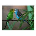 besar parakeets tarjeta postal