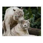 Bese a los amantes blancos de los tigres de la paz tarjeta postal