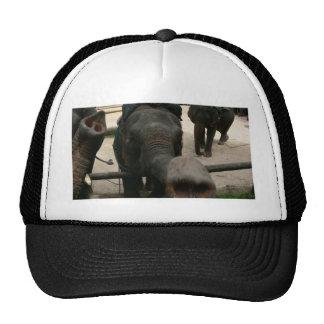 ¡Besos del elefante! Elefante asiático en Gorra