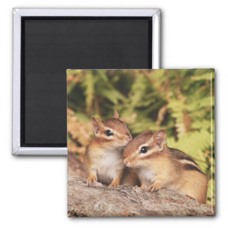 Best Friends Baby Chipmunks Fridge Magnet