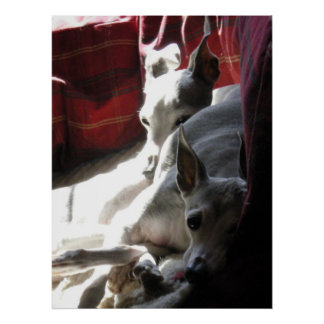 """Best Friends"" italian greyhound photo Poster"