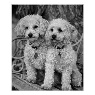 Best Friends Poodles Poster