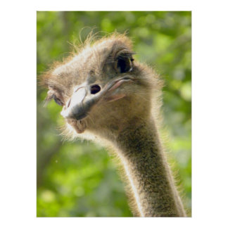 Best-Looking Guy Ever! l Ostrich Photography Poster