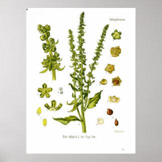 Beta vulgaris L. var. rapa Dum Beetroot Poster