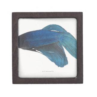 Betta Fish or Male Blue Siamese Fighting Fish Gift Box