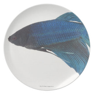 Betta Fish or Male Blue Siamese Fighting Fish Plate