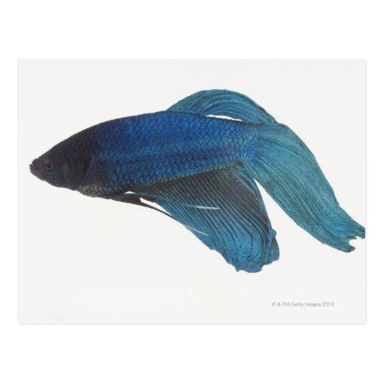 Betta Fish or Male Blue Siamese Fighting Fish Postcard