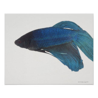 Betta Fish or Male Blue Siamese Fighting Fish Poster