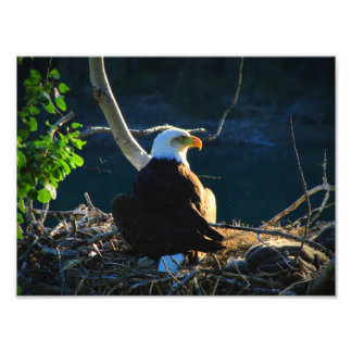 BEWB Bald Eagle With Baby Art Photo