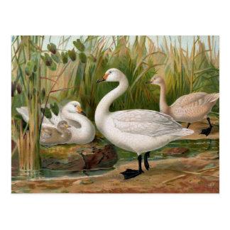 """Bewick Swan"" Postcard"