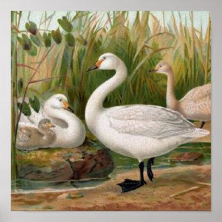"""""""Bewick Swan"""" Print"""