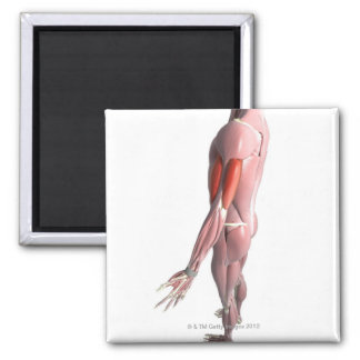 Biceps and the Triceps Brachii 2 Inch Square Magnet
