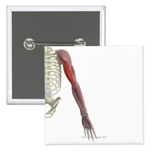 Biceps-brachii Pins