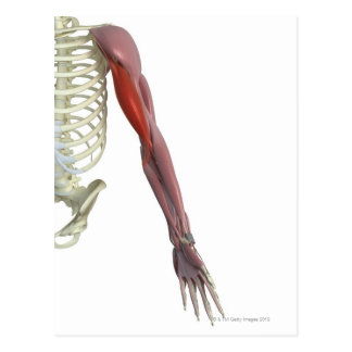 Biceps Brachii Postcard