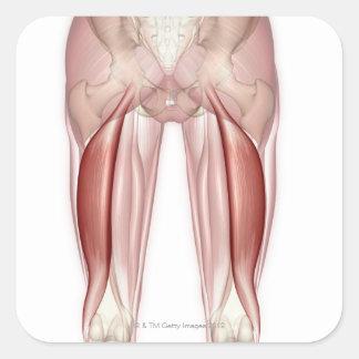 Bíceps femoral pegatina cuadrada