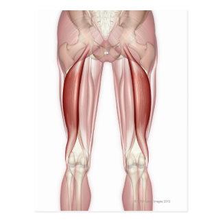Biceps Femoris Postcard