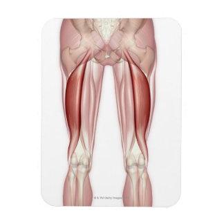 Biceps Femoris Rectangular Photo Magnet