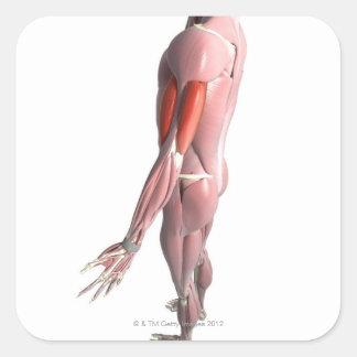Bíceps y el tríceps - brachii pegatina cuadrada