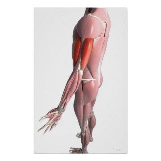 Bíceps y el tríceps - brachii póster