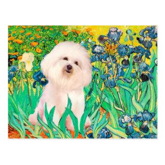 Bichon Frise 4  - Irises Postcard