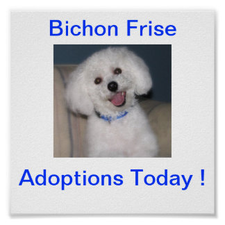 Bichon Frise Adoption Today Sign Print