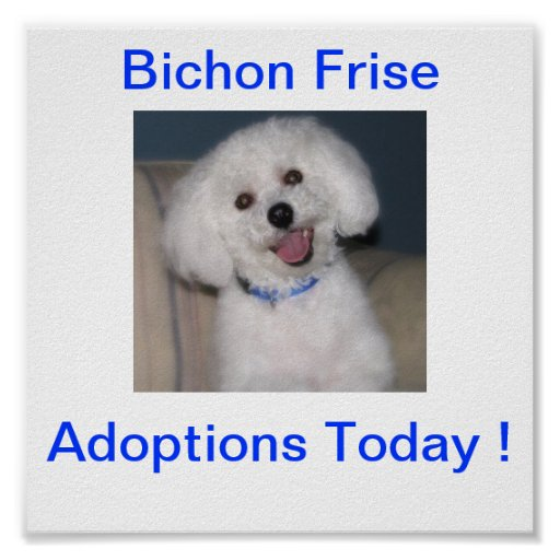 Bichon Dogs Available For Adoption