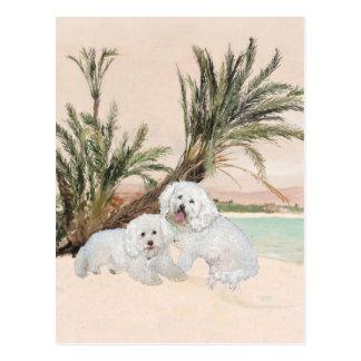 Bichon Frise Palmy Beach Postcard