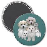 Bichon Frise Puppies Magnet