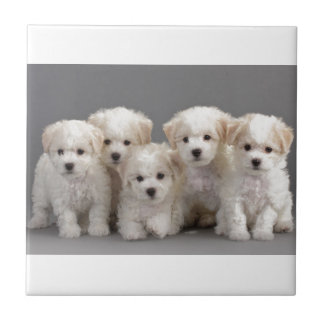 Bichon Frisé Puppies Tile