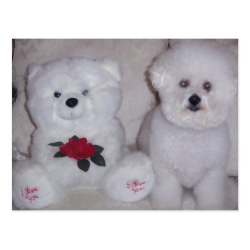 Bichon frise with white teddy bear. post cards
