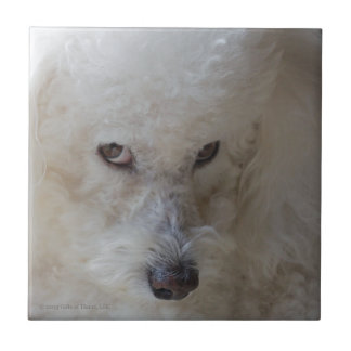 Bichon, guilty - Ceramic Tile