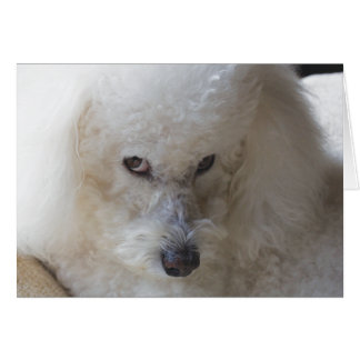 Bichon, guilty - Note Card