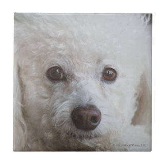 Bichon, thoughtful - Ceramic Tile