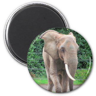 Big African Bull Elephant 2 Inch Round Magnet