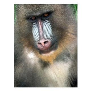 Big Baboon Postcard