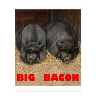 BIG BACON POT BELLIED PIGS POSTCARD