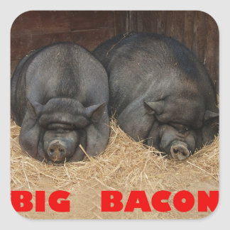 BIG BACON POT BELLIED PIGS SQUARE STICKER