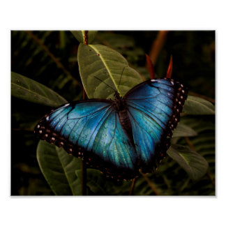 Big,beautiful , blue butterfly poster
