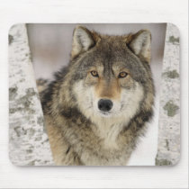 Big Beautiful Grey Wolf in the wild Mouse Pad