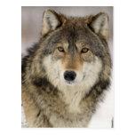 Big Beautiful Grey Wolf in the wild Postcard