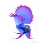 Big Blue Betta Fish Postcard