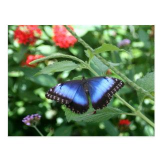 Big Blue Butterfly 2 Postcard