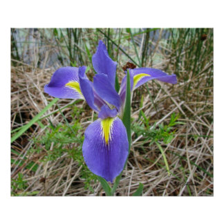Big Blue Louisiana Iris Poster