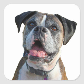 Big Boxer Dog Square Sticker