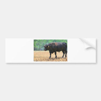 Big Boy Black Anqus Bull Bumper Sticker