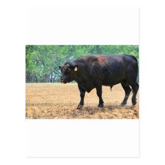 Big Boy Black Anqus Bull Postcard